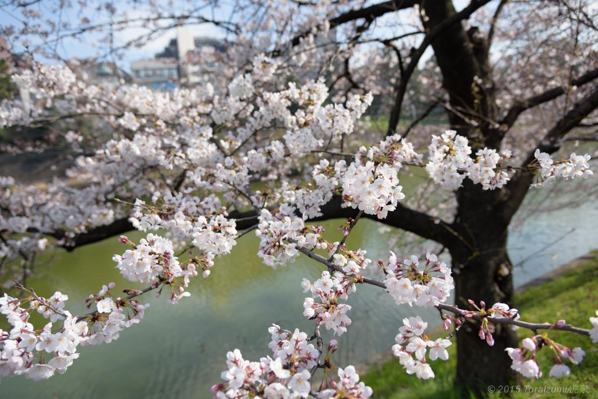桜見物 市ヶ谷